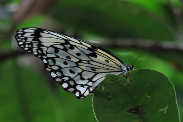 大きな蝶オオゴマダラ 西表島ジャングルブック通信