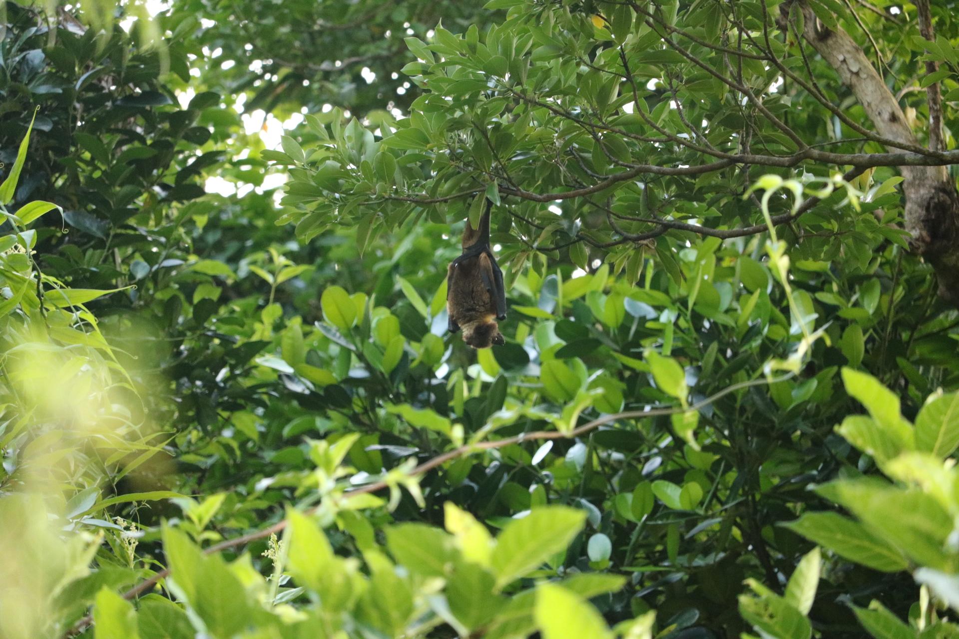 翼を広げると80cmのオオコオモリ