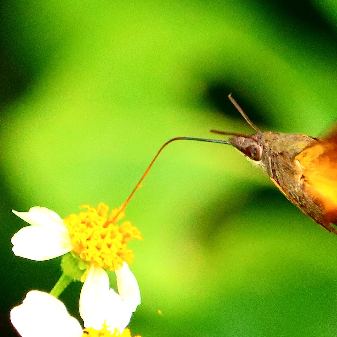 ハチドリと間違われる蛾