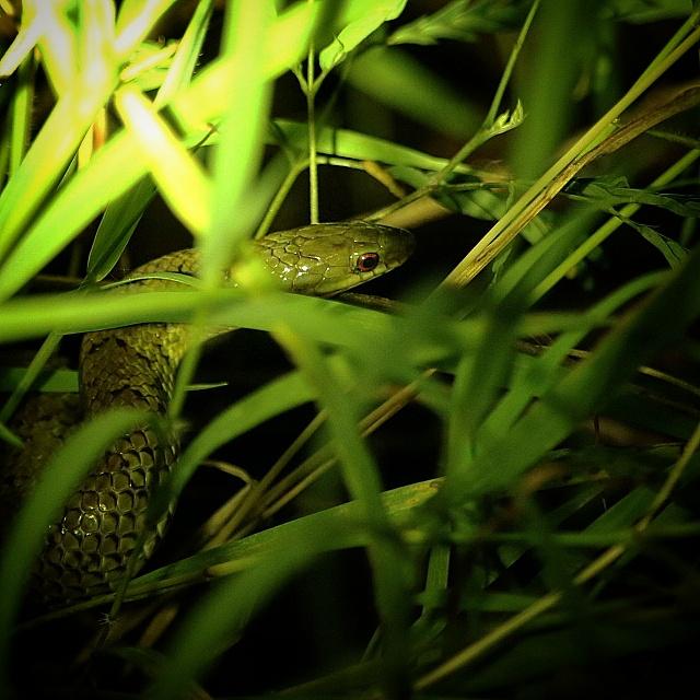にゃいとでサキシマアオヘビが出た!