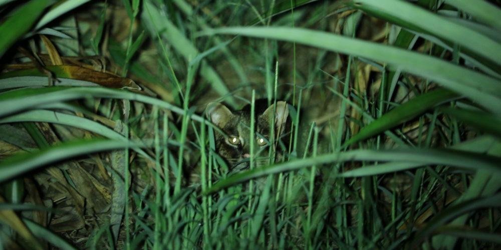 絶滅危惧種 特別天然記念物 ヤマネコ 固有種 生息 にゃいとツアー